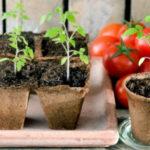 Когда сажать помидоры на рассаду в 2021 году по Лунному календарю