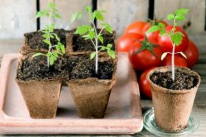Когда сеять томаты на рассаду в 2020 году по Лунному календарю Благоприятные дни Сроки посадки по регионам