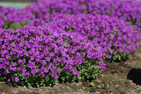 Обриета - описание растения, фото