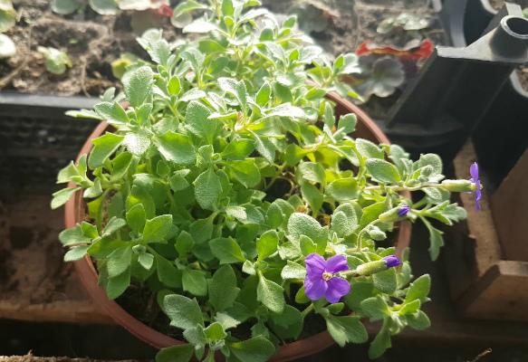 Как вырастить обриету из семян в домашних условиях на рассаду