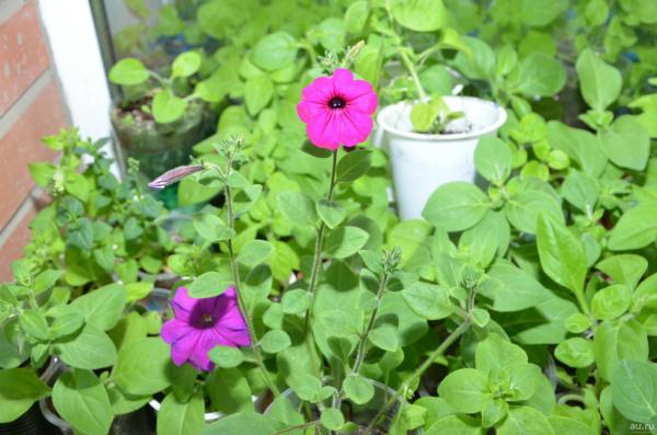 Как вырастить ампельную петунию из семян в домашних условиях на рассаду
