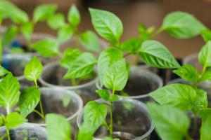 Выращивание рассады перца без пикировки в домашних условиях Фото Видео