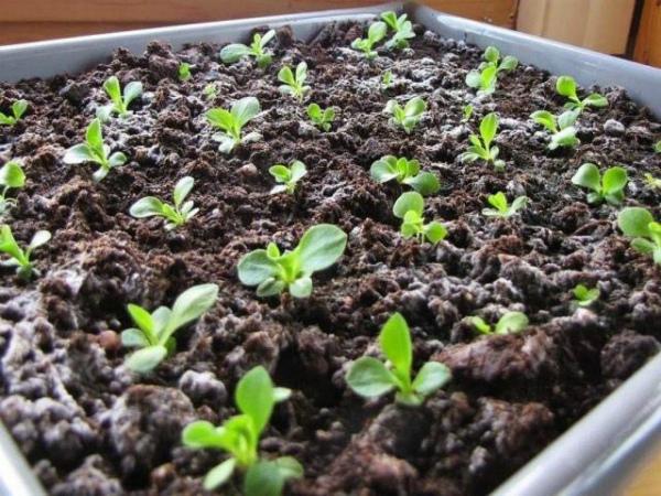 Выращивание примулы из семян в дома