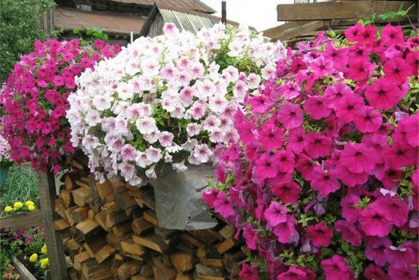 Как добиться пышного цветения петунии: советы