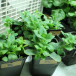 Как вырастить петунию из семян в домашних условиях на рассаду