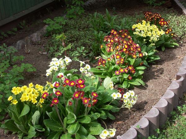 Уход за примулами весной и летом
