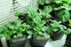 Как вырастить петунию из семян в домашних условиях на рассаду С фото пошагово Видео