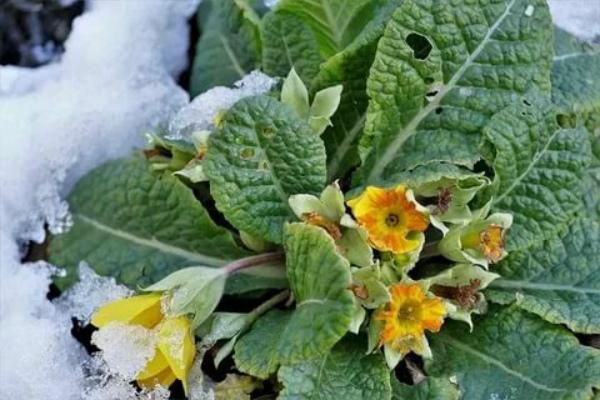 Осенний уход за примулами, подготовка к зиме