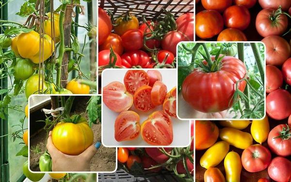 Сроки посева томатов с учетом сортовой принадлежности