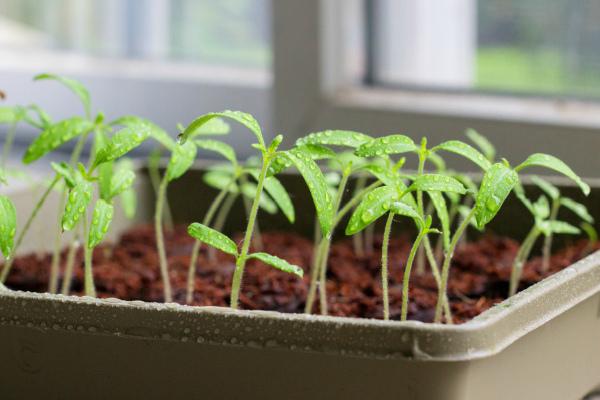 Посев томатов с у четом климатических условий в регионах