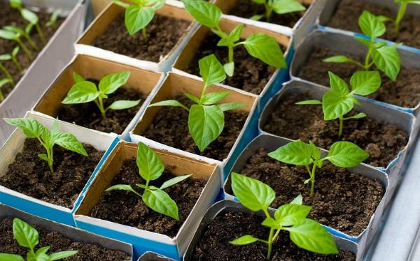 Как посеять перец на рассаду без дальнейшей пикировки