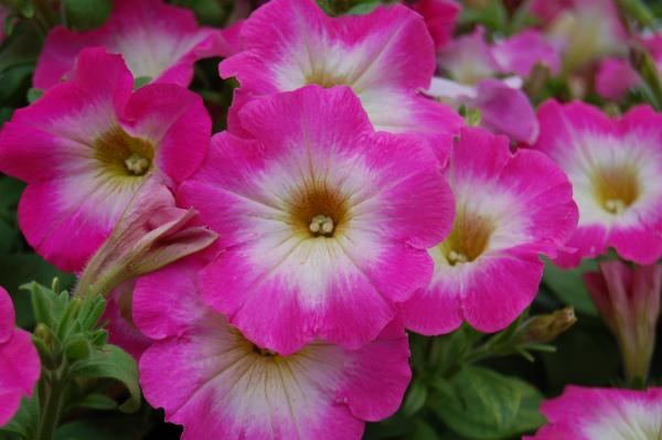 Многоцветковая петуния