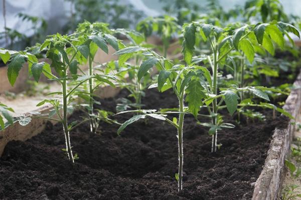 Расчет сроков в зависимости от способа выращивания: теплица (открытый грунт)