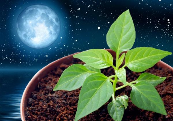 Когда сажать перец на рассаду в марте 2021 по Лунному календарю