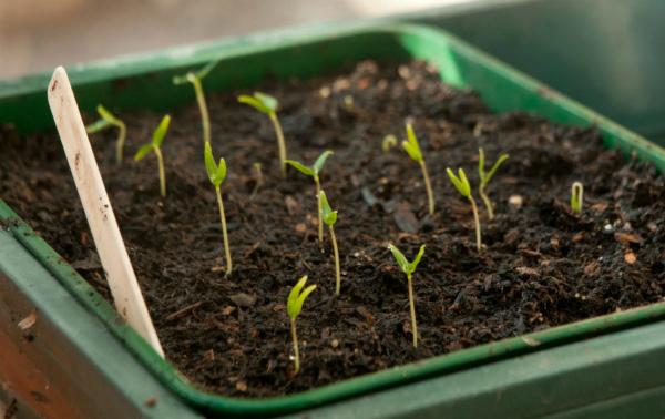 Советы садоводов по посеву перцев