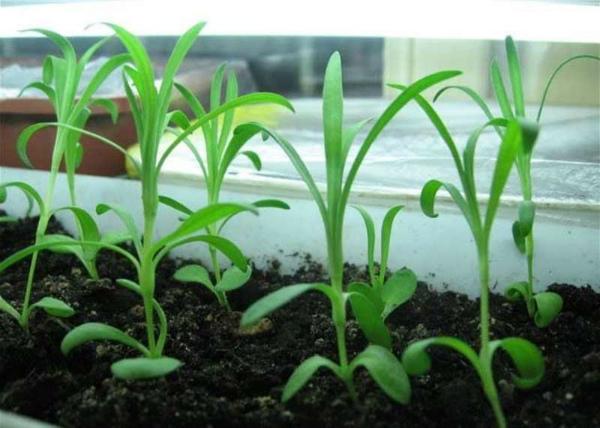 Выращивание рассады гвоздики Шабо в домашних условиях