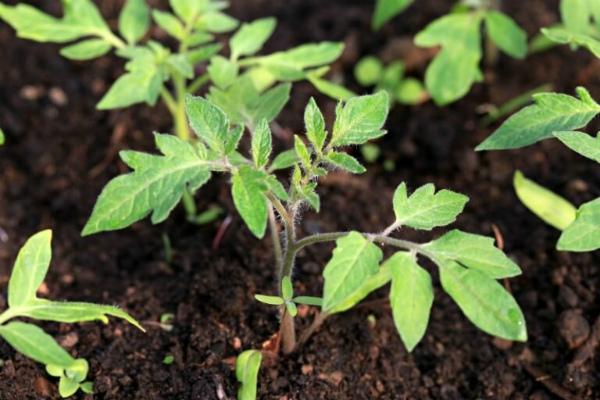 Советы садоводов по посеву томатов