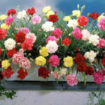 Гвоздика Шабо: выращивание из семян в домашних условиях, уход
