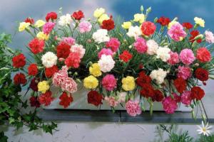 Гвоздика Шабо: выращивание из семян в домашних условиях Когда сажать на рассаду Сорта с фото Видео