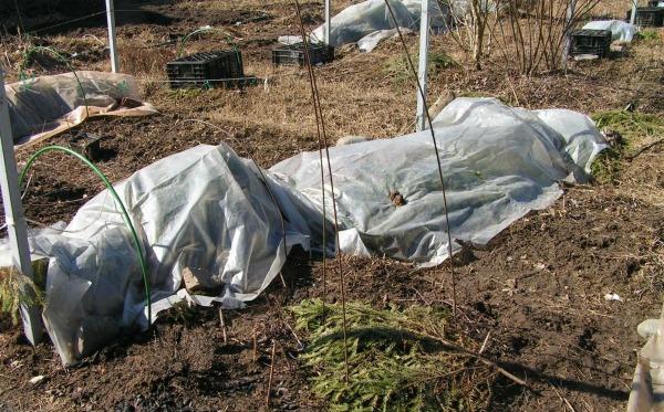 При какой температуре можно открывать виноград весной