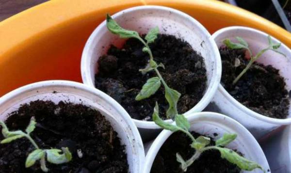 Почему у рассады томатов скручиваются листья, причины
