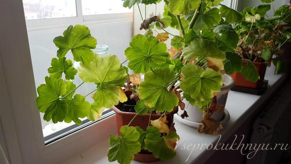 У герани желтеют и сохнут листья: причины и лечение