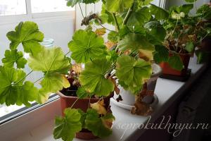 Сохнут и желтеют листья у герани Причины Что делать Чем лечить Фото