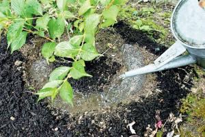 Чем подкормить гортензию весной после зимы Для активного роста Для пышного цветения Фото