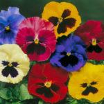 Виола: выращивание из семян в домашних условиях