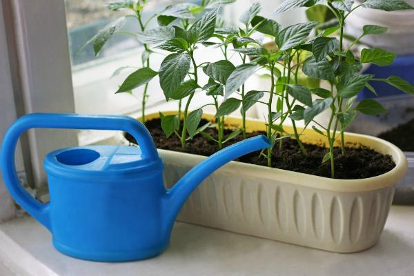 Как поливать рассаду перца