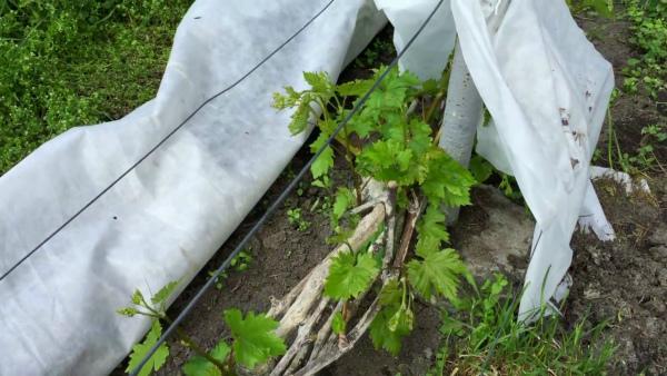 Как спасти виноград от весенних заморозков