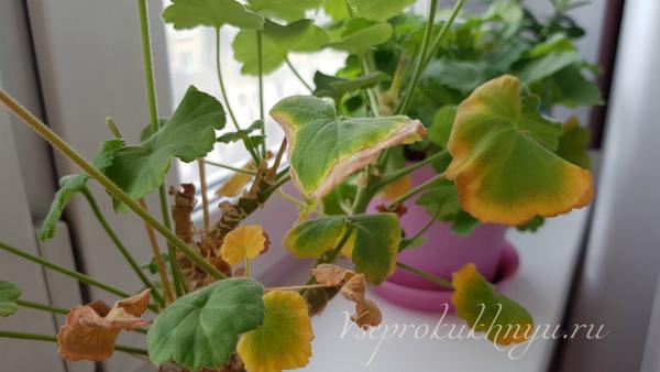 У герани желтеют листья по краям, что делать