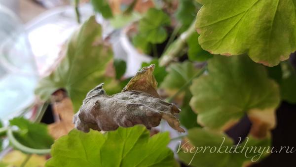 Если у герани чернеют и сохнут листья