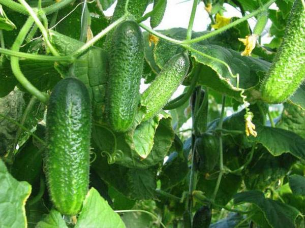 Как вырастить вкусные огурцы: советы садоводов