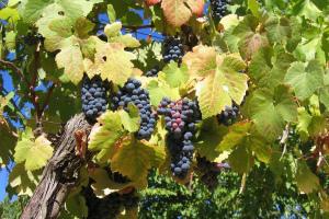 Когда и как открывать виноград после зимы При какой температуре В какое время Фото Видео