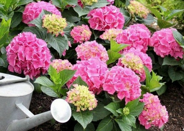 Чем подкормить кусты гортензии для пышного цветения в саду