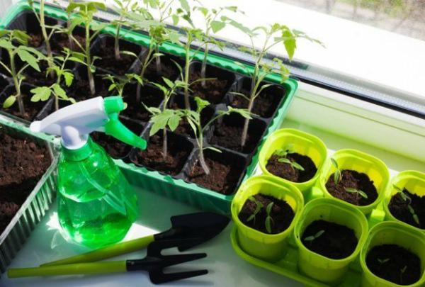 Правила внесения подкормок для рассады томатов