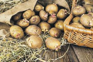 Посадка картофеля в 2020 году по Лунному календарю Самые благоприятные дни Фото Видео