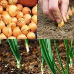 Когда сажать лук весной в открытый грунт в 2020 году