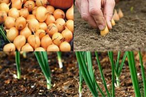 Когда сажать лук весной в открытый грунт на головку в 2020 году По Лунному календарю Сорта Видео