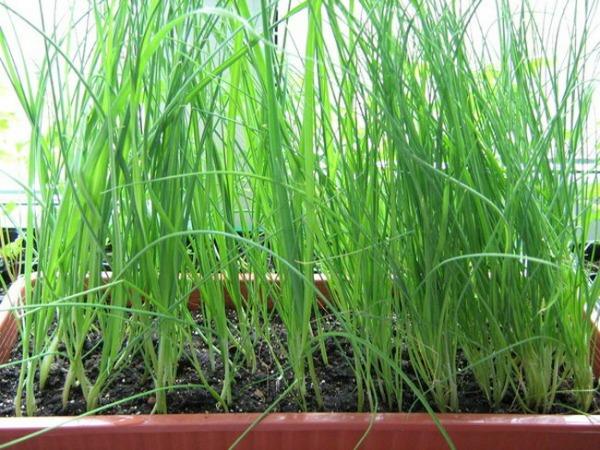 Сроки посева лука-порея на рассаду в регионах