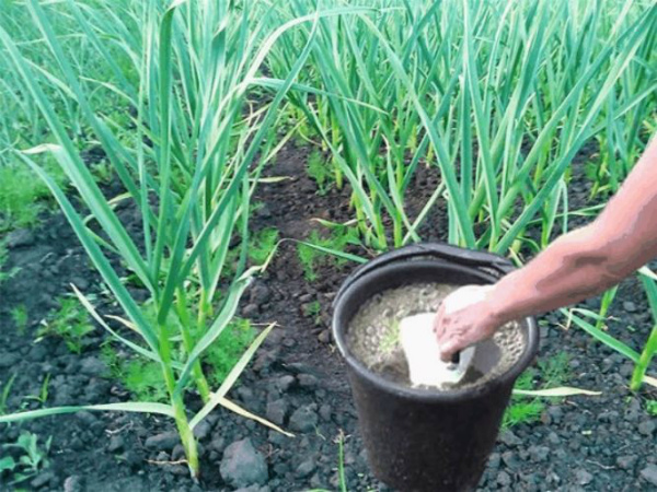 Чем подкормить чеснок весной для хорошего урожая