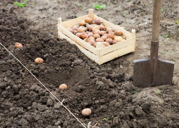 Как правильно посадить картофель, чтобы получить хороший урожай