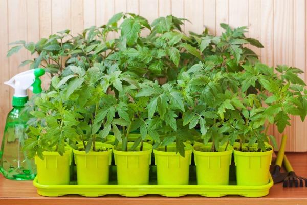 Чем подкормить рассаду помидор, чтобы не вытягивалась