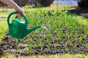 Чем подкормить чеснок весной, чтобы был крупный и не желтел Народные средства Фото Видео