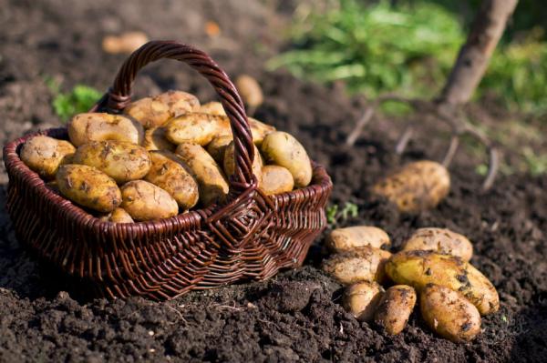 Как вырастить большой урожай картофеля