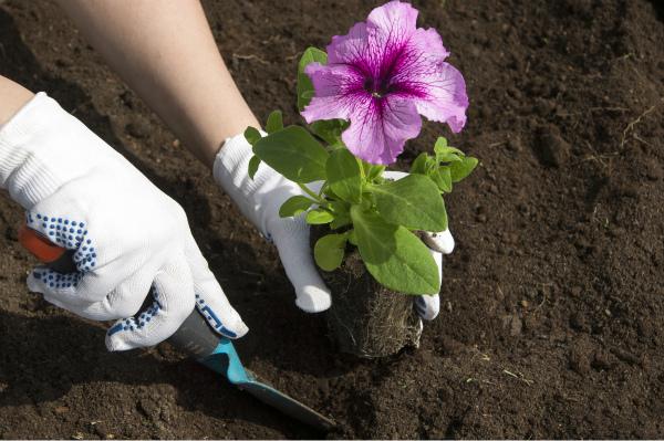 При какой температуре можно высаживать петунию в грунт