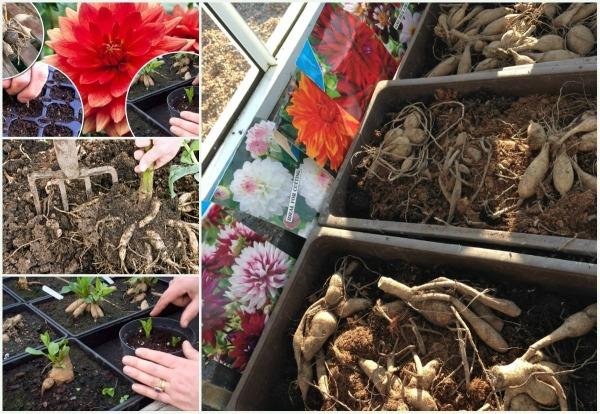 Когда сажать георгины весной в открытый грунт