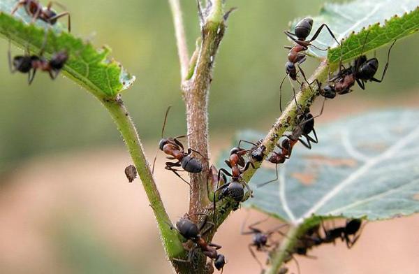 Чем опасны муравьи