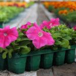 Когда высаживать петунию в открытый грунт весной
